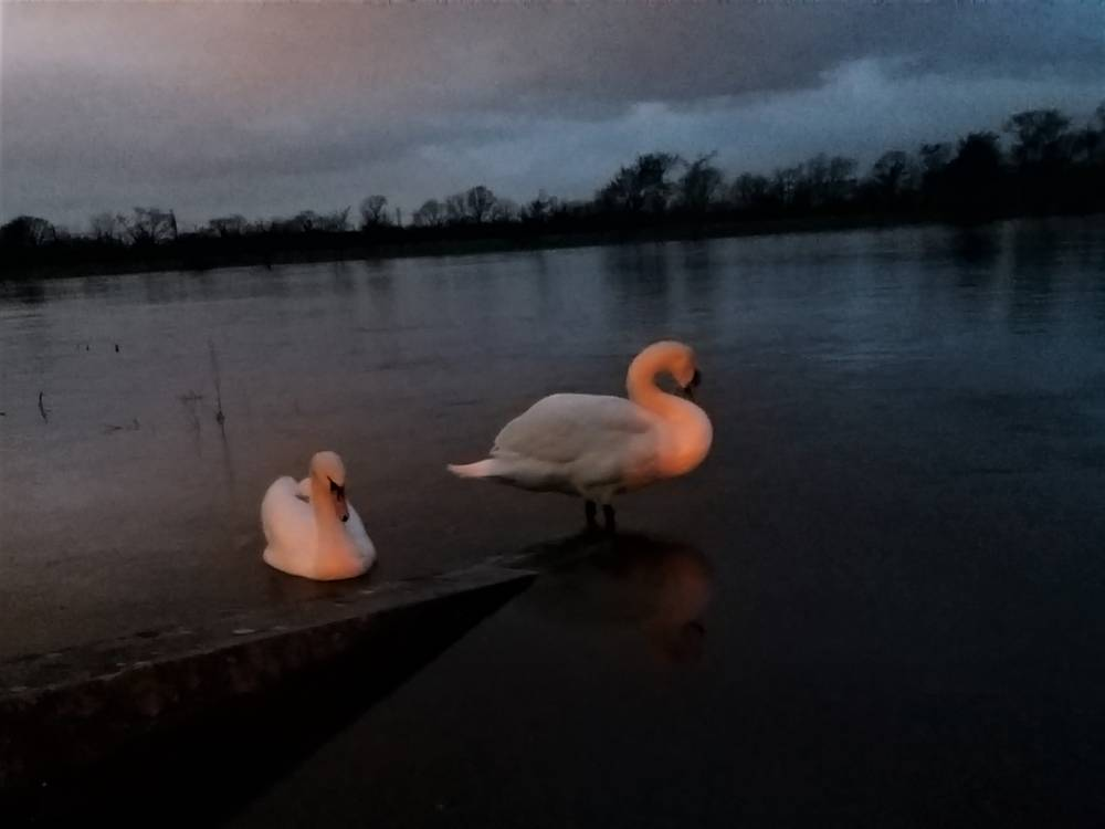 """""""Swans by Twilight"""" by Michael Wheeler"""